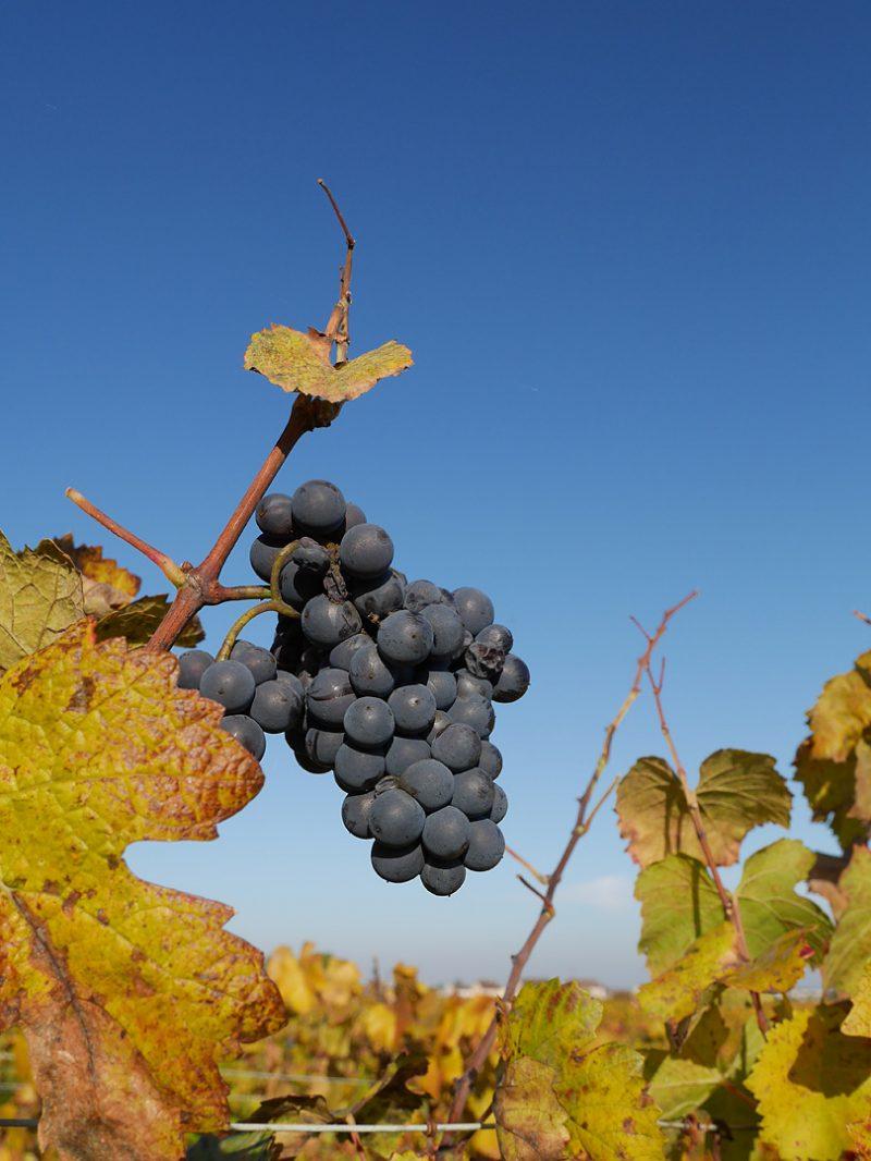 赤ワインに使われる「黒ブドウ」の品種