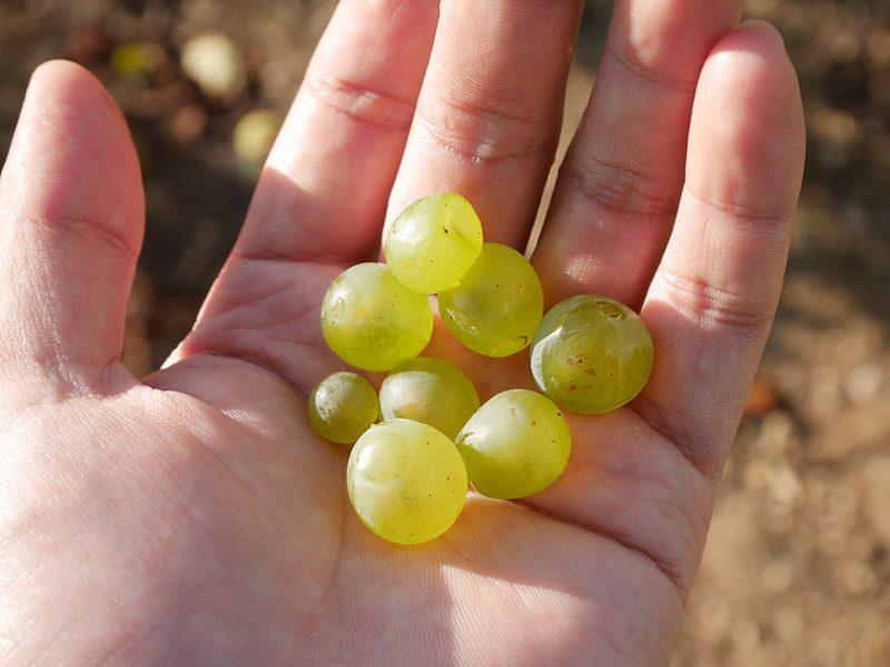 白ワインに使われる「白ブドウ」の品種