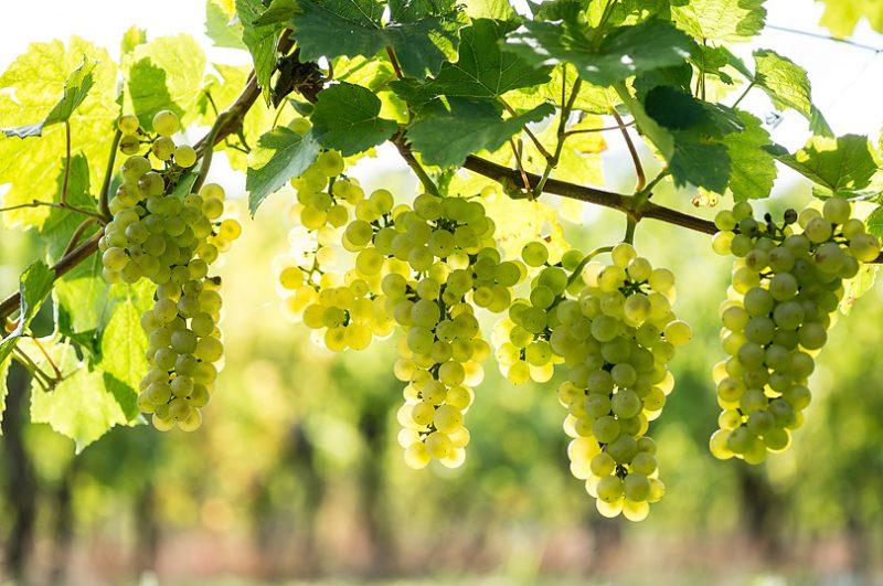 ピノ・ブラン(Pinot Blanc)
